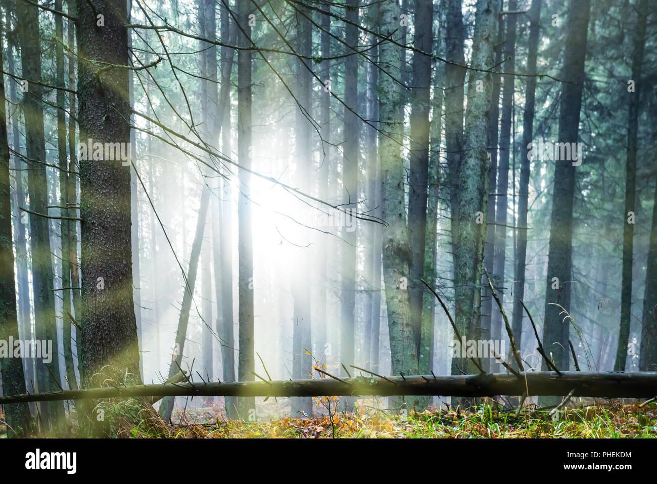 Sun shining through trees - Stock Image
