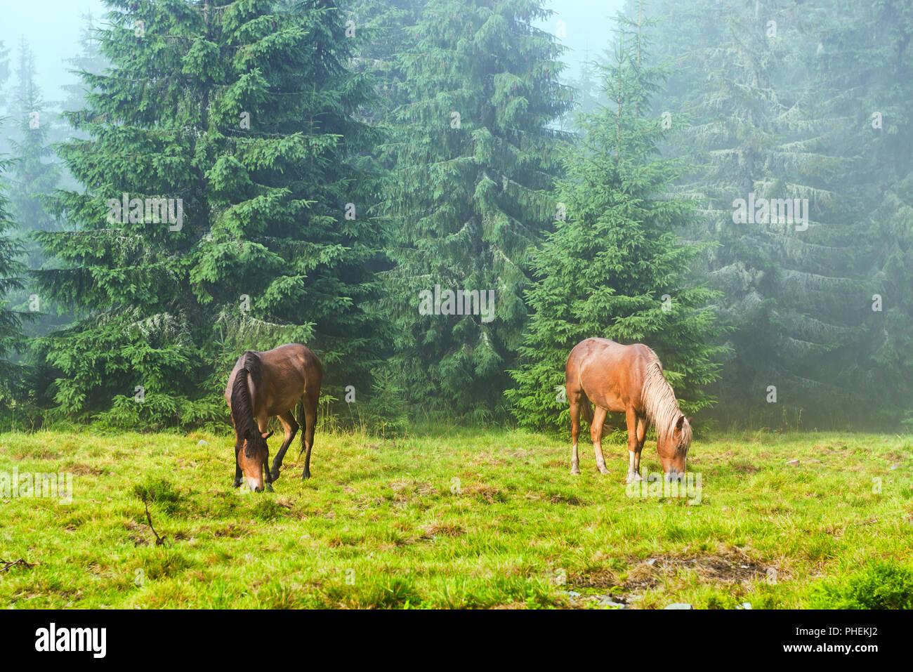 Two wild running horses grazing - Stock Image