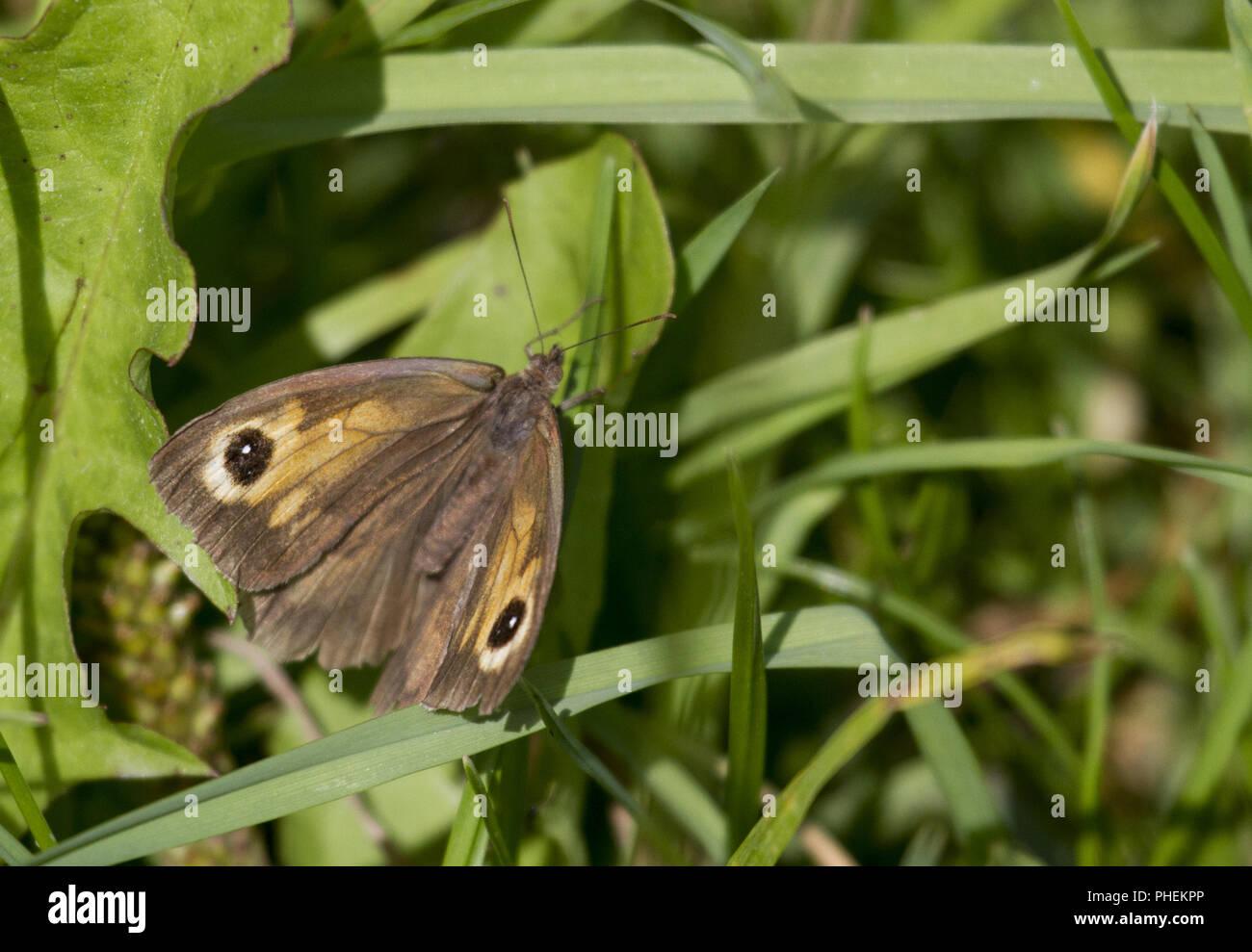 Oxeye Butterfly, Ezumakeech, Firesland, Lauwersmeer, Netherland - Stock Image