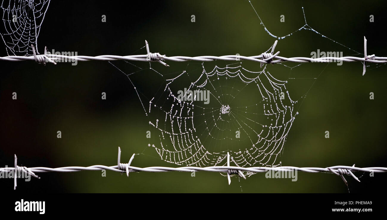 barbed wire and spider web, Bruehl, North Rhine-Westphalia, Germany, Europe - Stock Image