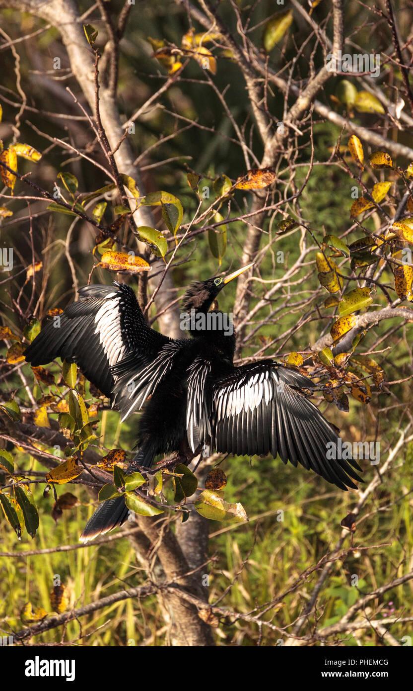 Male Anhinga bird called Anhinga anhinga - Stock Image