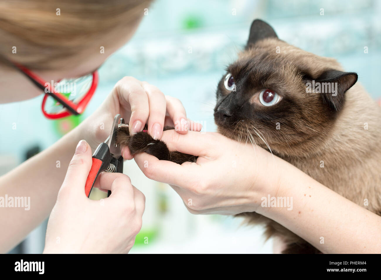 the vet cut the cats claws, white background - Stock Image