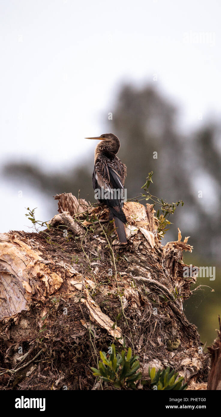 Anhinga bird called Anhinga anhinga - Stock Image