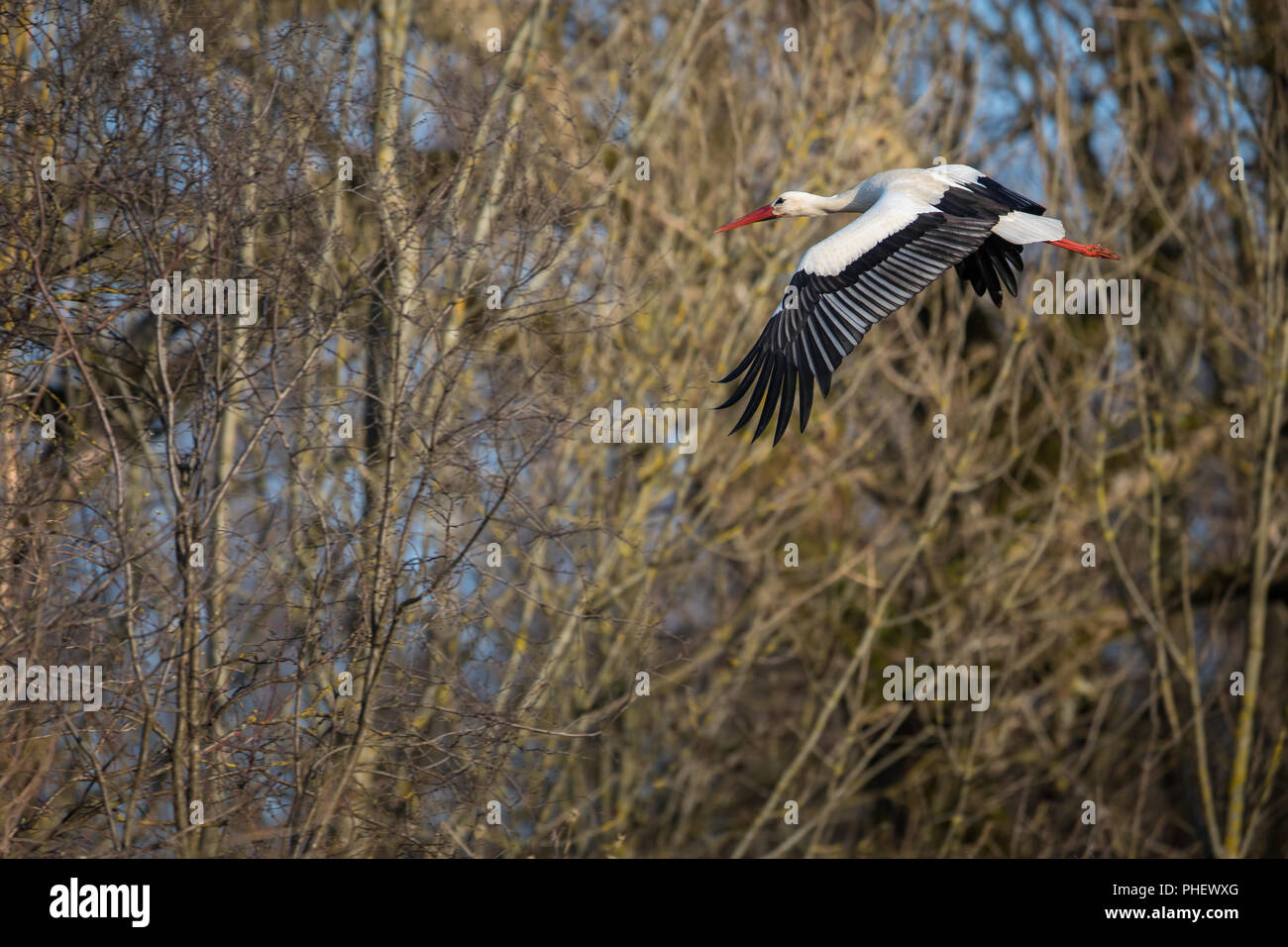 Elegant white stork (Ciconia ciconia) during the nesting season, busy taking care of his little ones Stock Photo