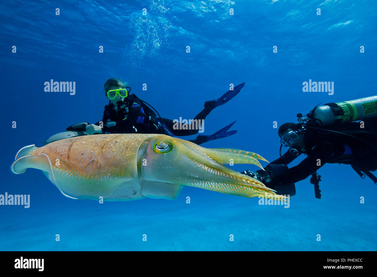 Divers (MR) on underwater scooters and a common cuttlefish, Sepia officinalis, in Palau, Micronesia. Stock Photo