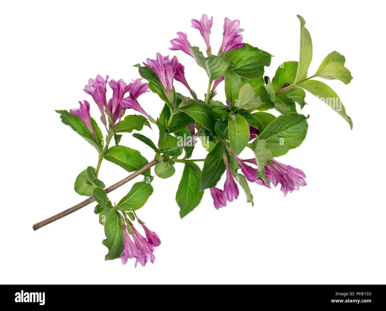 Spring magenta branch isolated - Stock Image