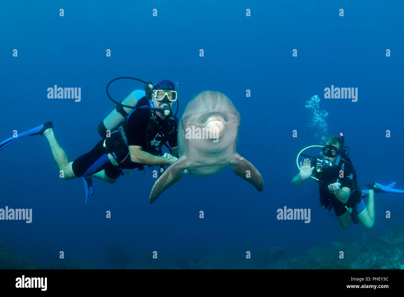 Divers (MR) meet a trained Atlantic Bottlenose Dolphin, Tursiops truncatus, on the Sea Aquarium House Reef off the island of Curacao in the Netherland - Stock Image