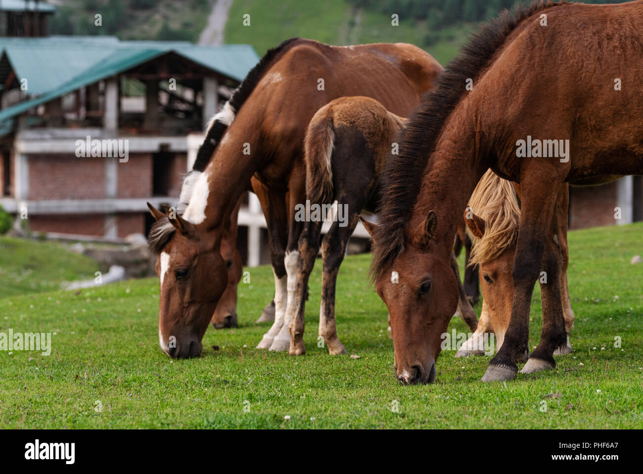 Group of horses grazing grass on pasture field Stock Photo