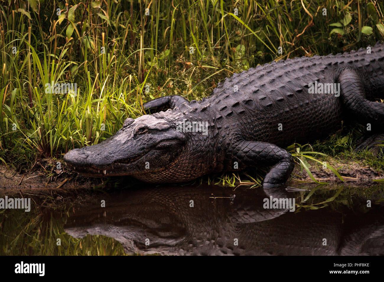 Large menacing American alligator Alligator mississippiensis - Stock Image