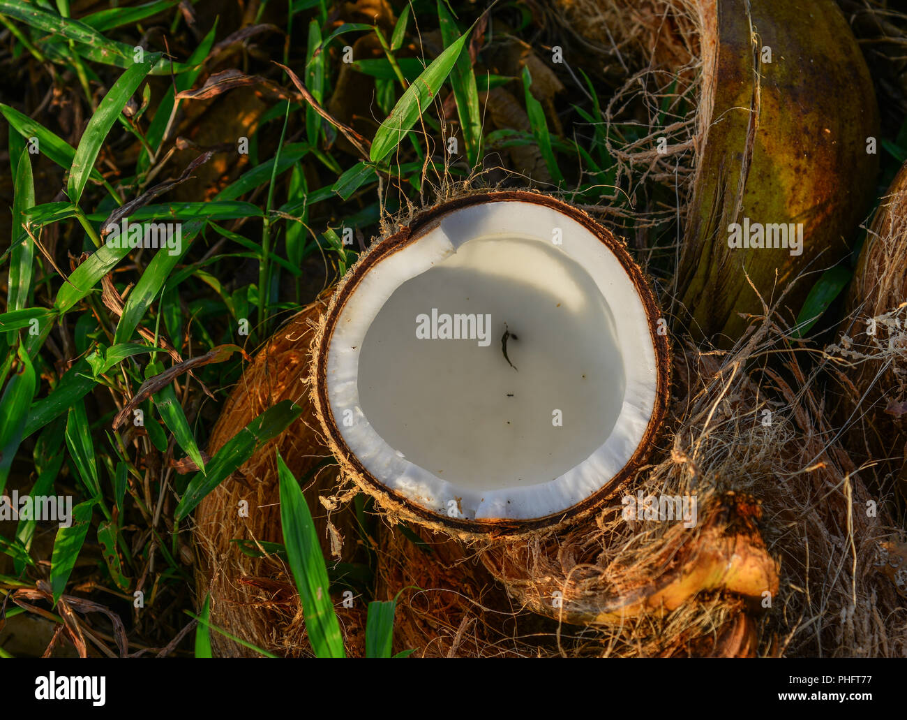 Pieces of coconut fruit on grass in Kien Giang, Vietnam. - Stock Image