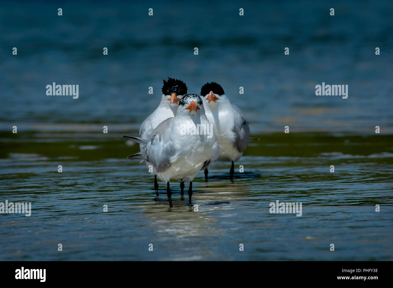 Three royal terns group together in a funny trio wading in shallow blue ocean water. - Stock Image