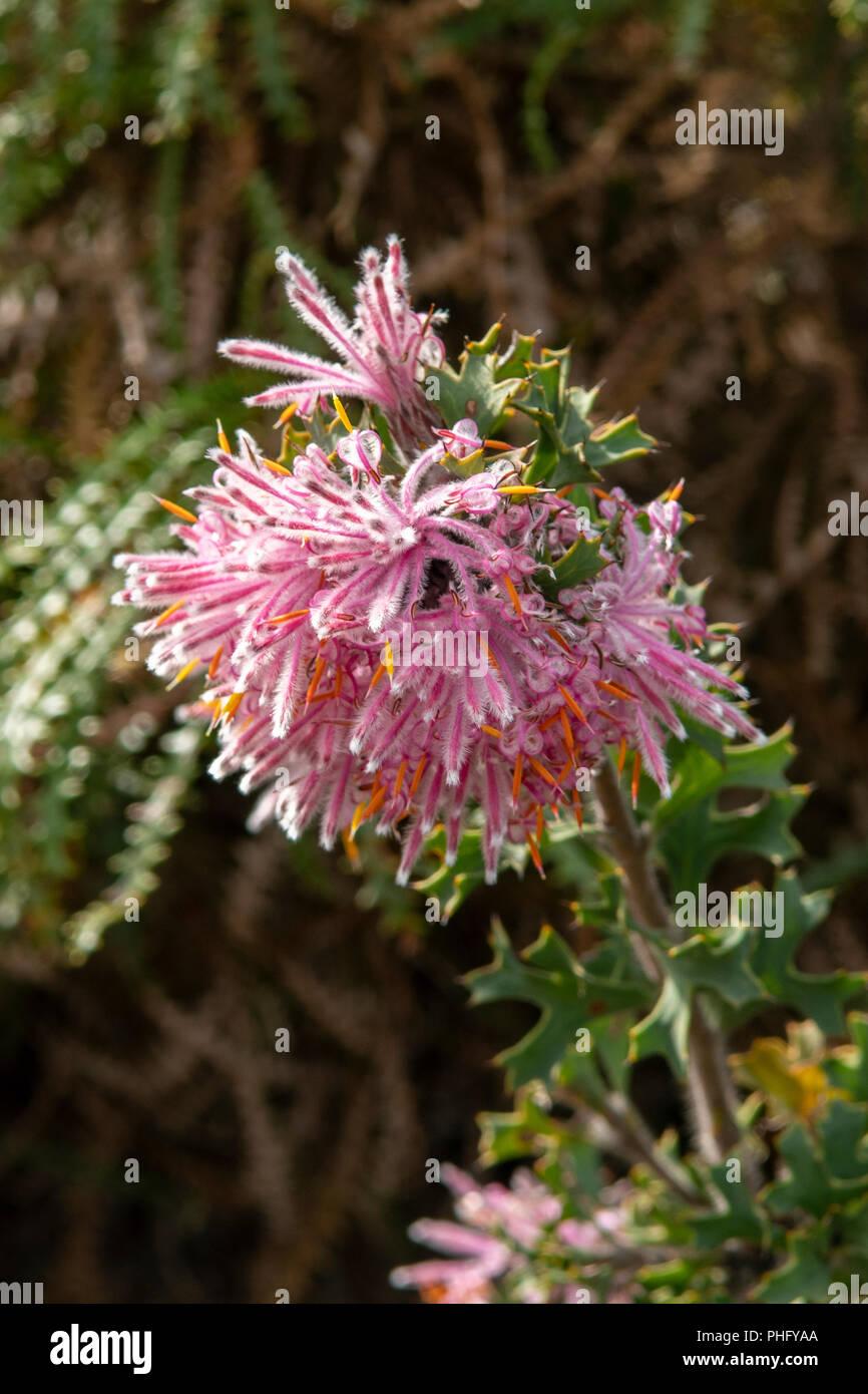 Isopogon latifolius, Stirling Range Pixie Mops - Stock Image