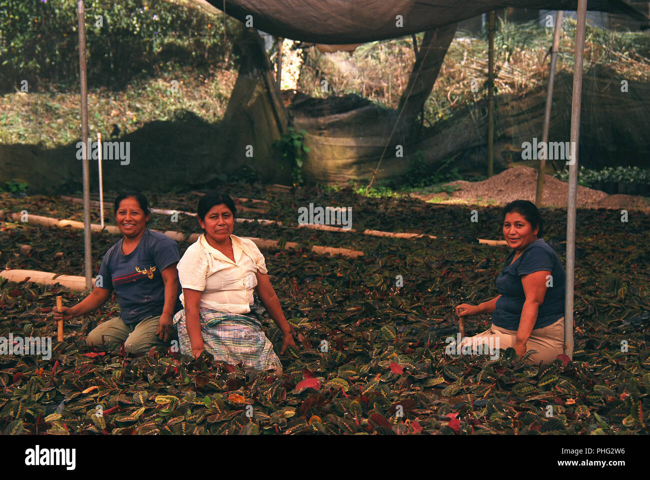 Indian women working on a plantation tending plants for export to Belgium and France. - Stock Image