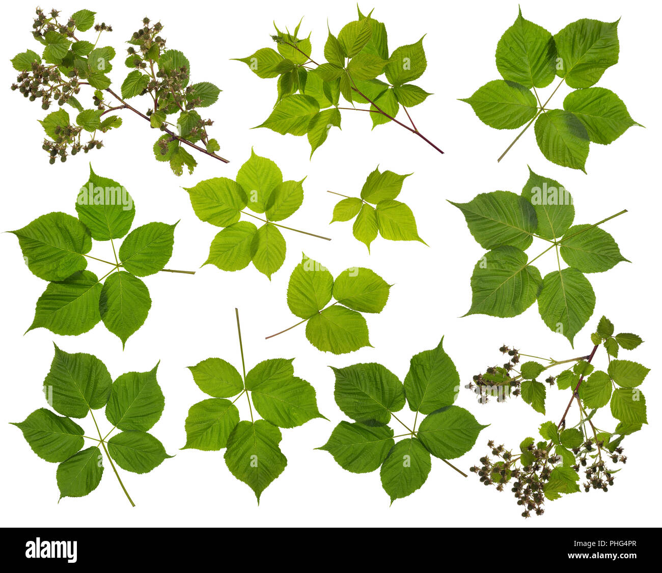 Branches And Leaves Summer Blackberry Bush Stock Photo 217328575