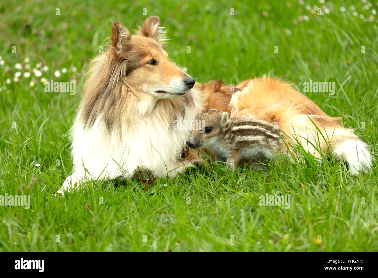 Wild Boar playing with Collie on a meadow in springtime - Stock Image