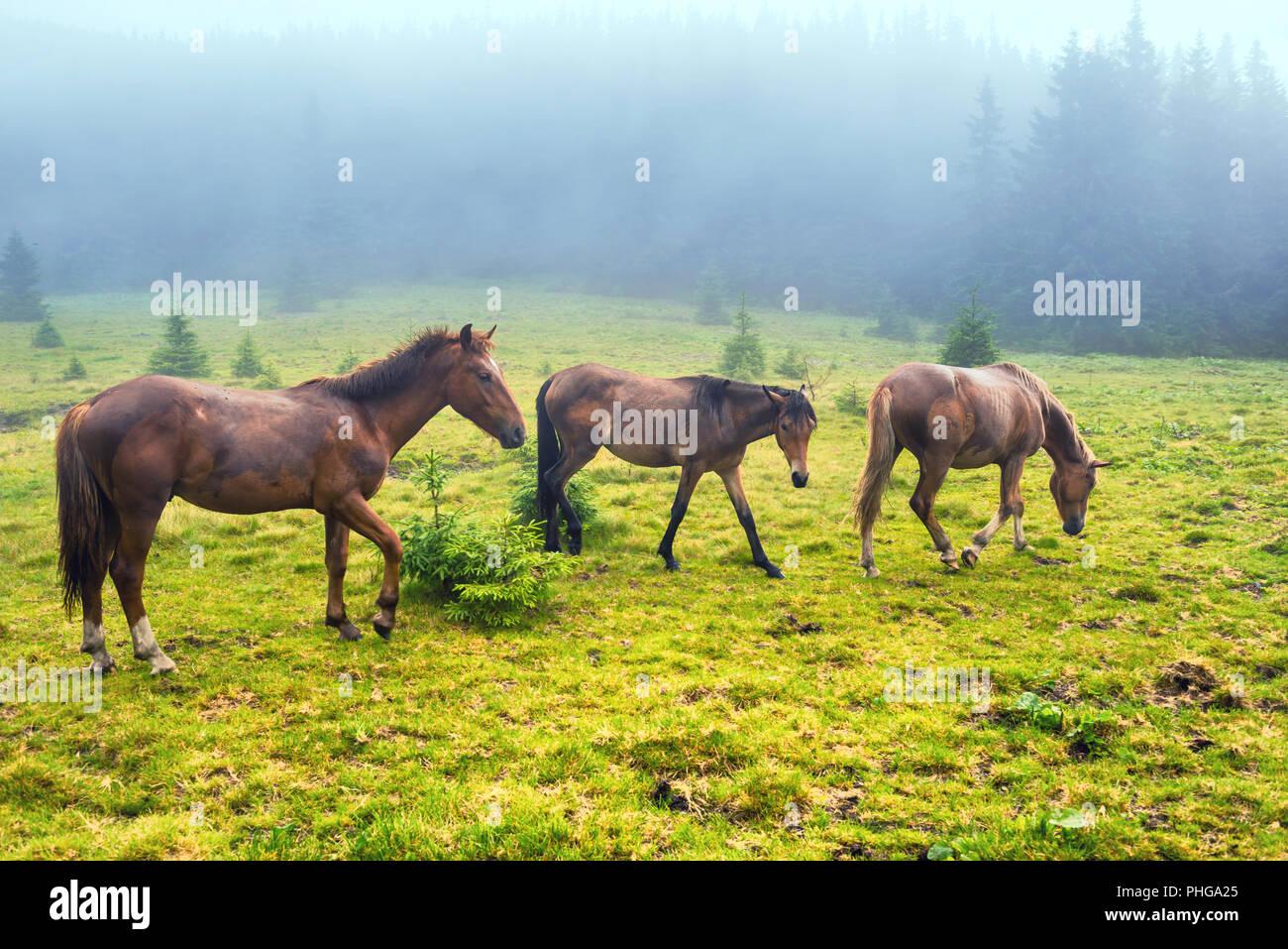 Herd of running brown horses - Stock Image