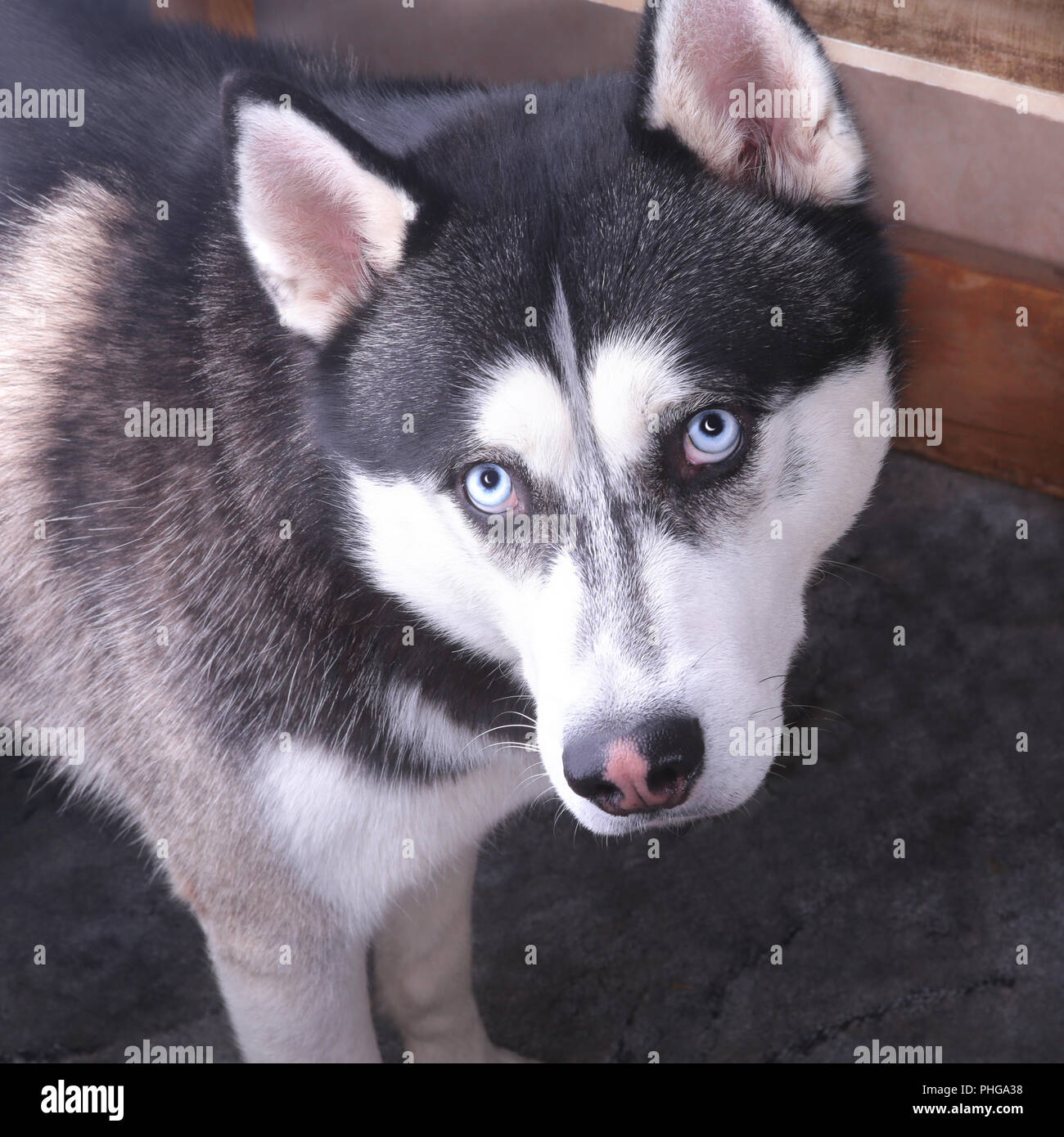 Siberian Husky Dog With Blue Eye Looks To Right Husky Dog Has Black