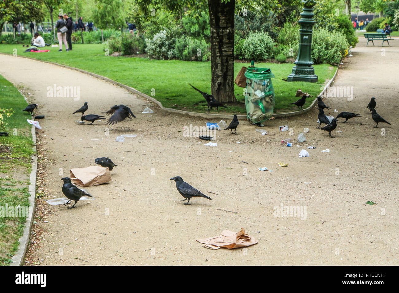 A Picture of a flock of crows eating garbage from a trash bin and doing mess in the public park. - Stock Image