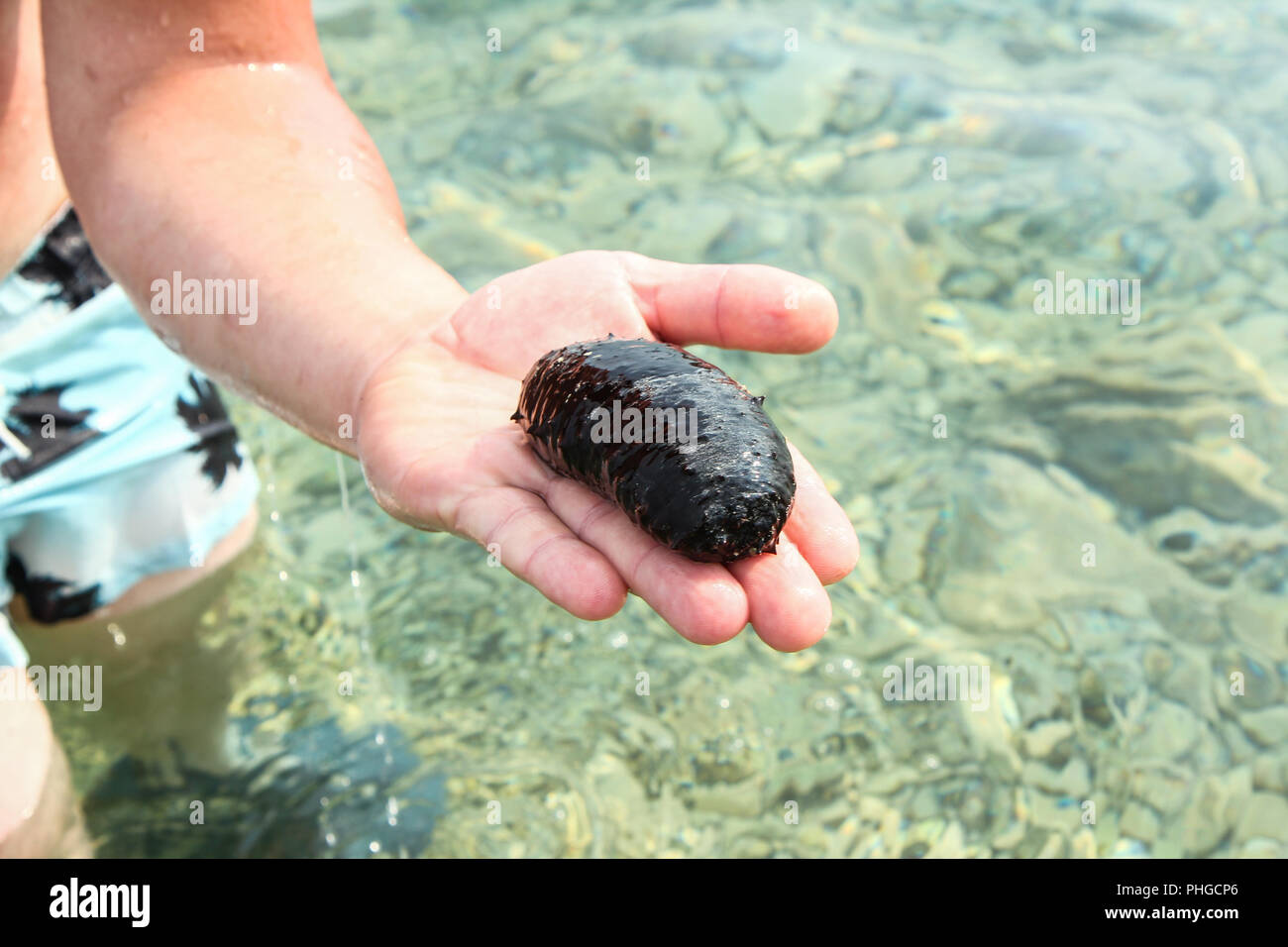 Man holding a Sea cucumber above the water. - Stock Image