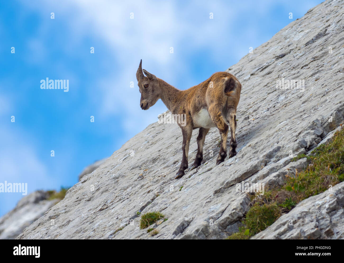 Ibex at Tomlishorn - Stock Image