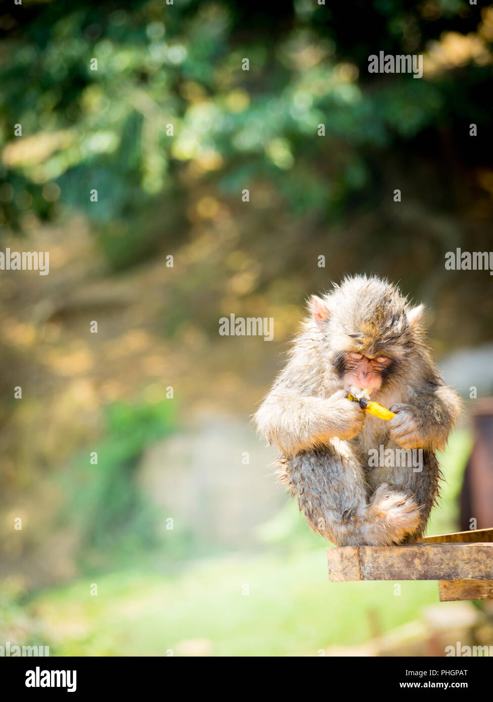 A juvenile Japanese macaque (Macaca fuscata), a.k.a. snow monkey, eats a banana at Iwatayama Monkey Park on Mount Arashiyama, Arashiyama, Kyoto, Japan Stock Photo