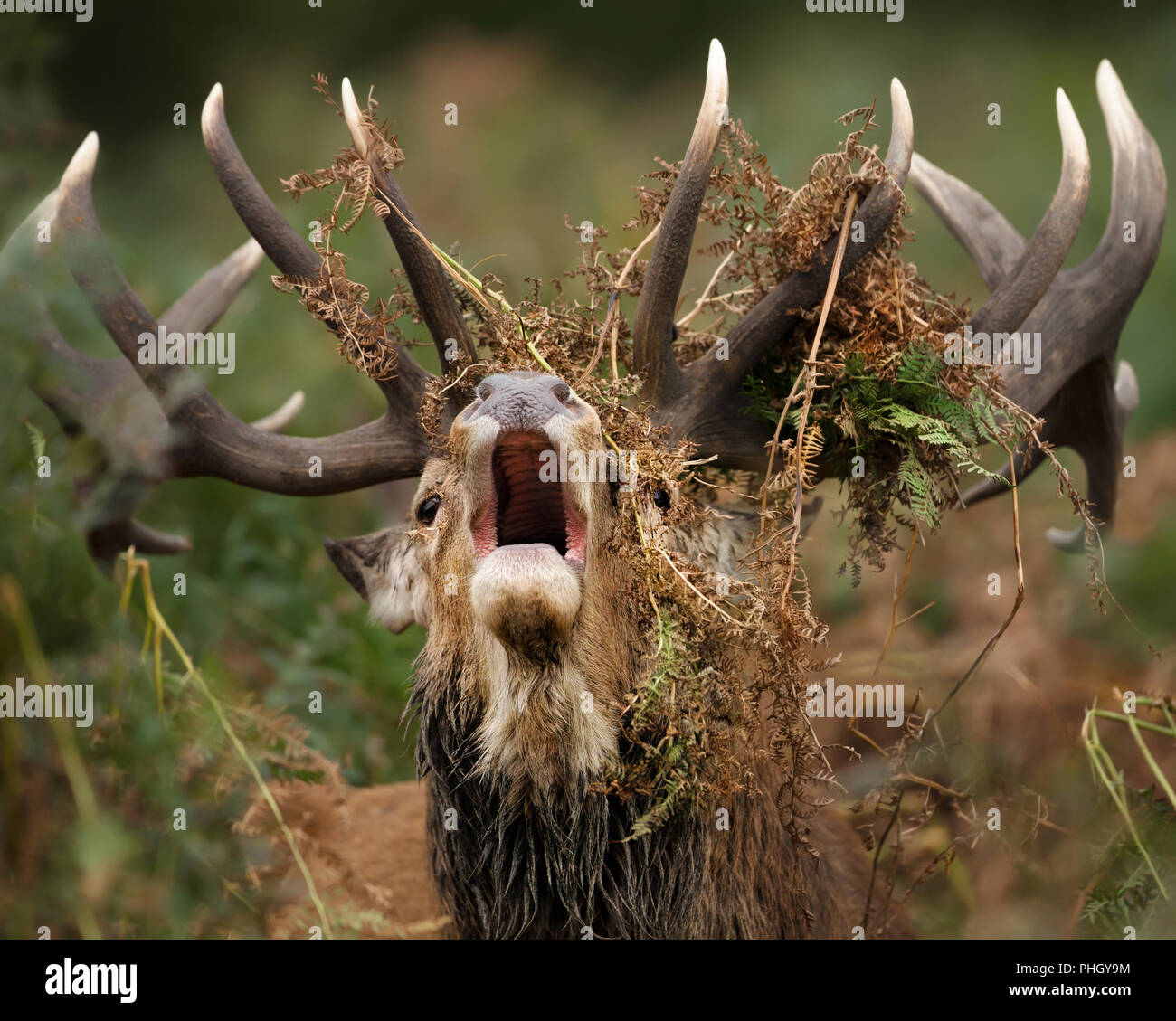 Close up of a red deer stag bellowing with ferns draped around its antlers  during rutting season, UK. - Stock Image