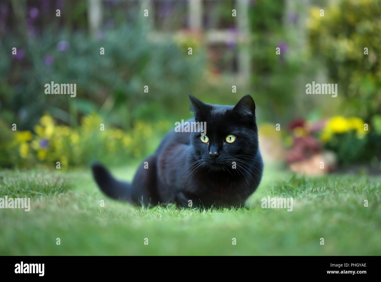Close up of a black cat on the grass in the back yard, UK. - Stock Image