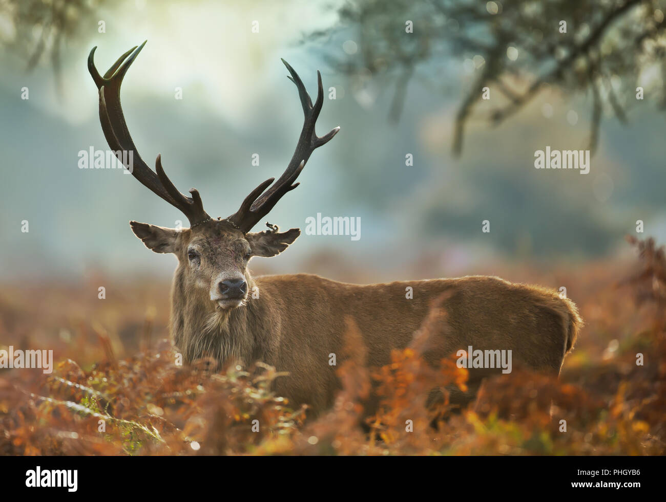 Close-up of a red deer stag with an injured ear during rutting season, UK. - Stock Image