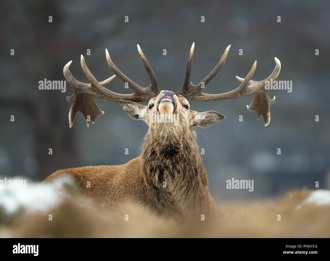 Close up of a Red deer stag bellowing in winter, UK. - Stock Image