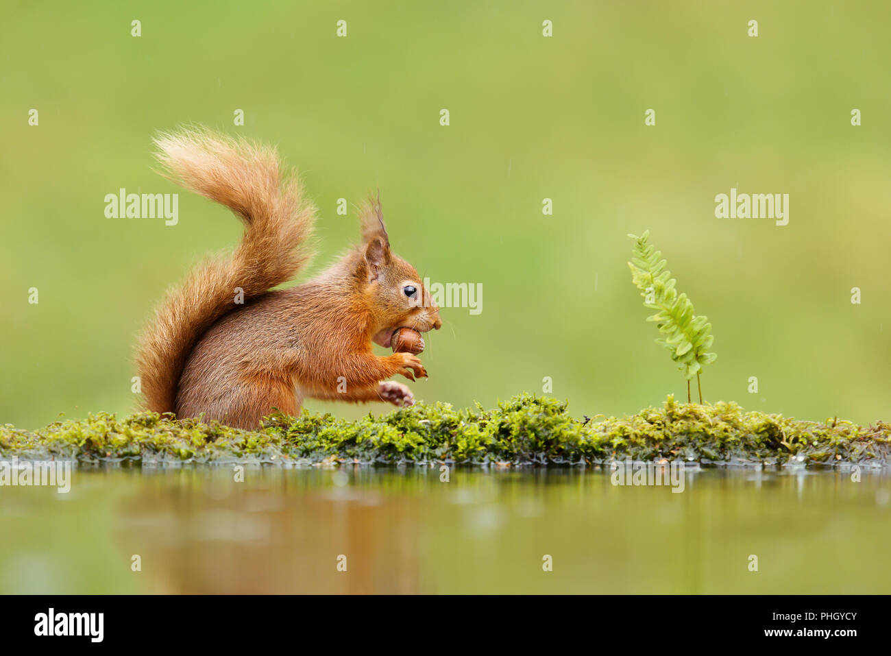 Close up of a red squirrel (Sciurus vulgaris) eating a nut on rainy day near water, UK - Stock Image
