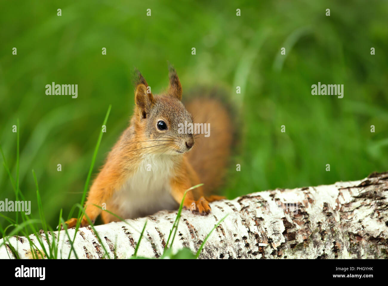 Close up of a curious Red squirrel (Sciurus Vulgaris) in the grass by a birch log. - Stock Image