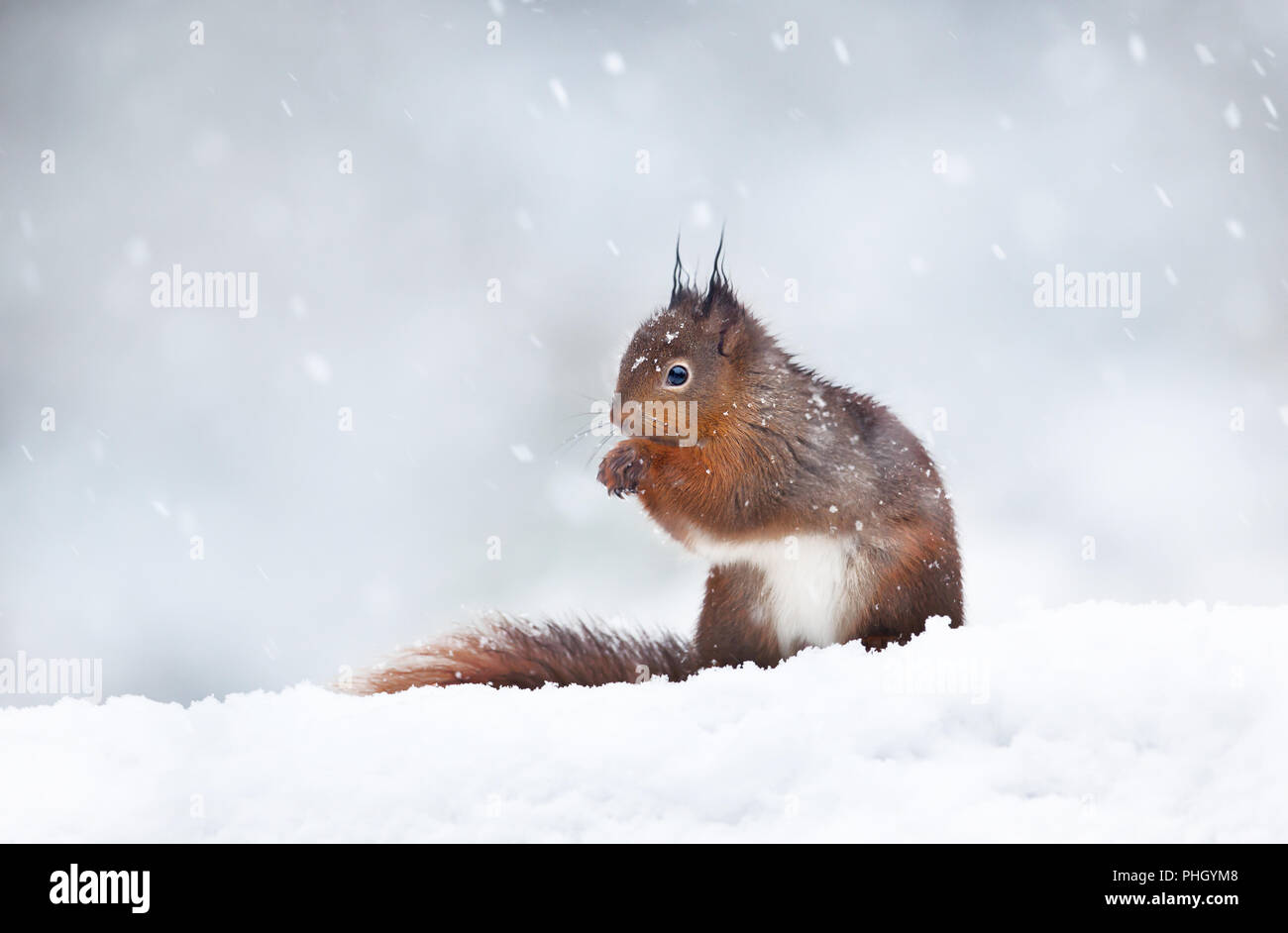 Close up of a red squirrel sitting in the snow. Snowing in England. Animals in winter. Stock Photo