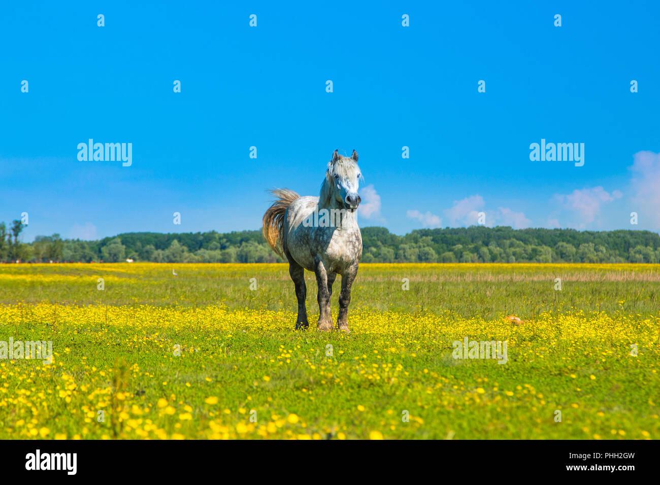 White horse on green field in spring in nature park Lonjsko polje, Croatia - Stock Image