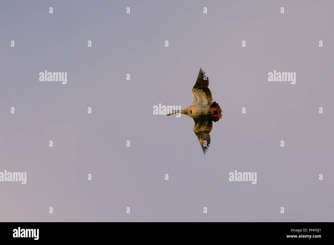 Flying duck with wide open wings in the evening light, view from below - Anatidae - Stock Image