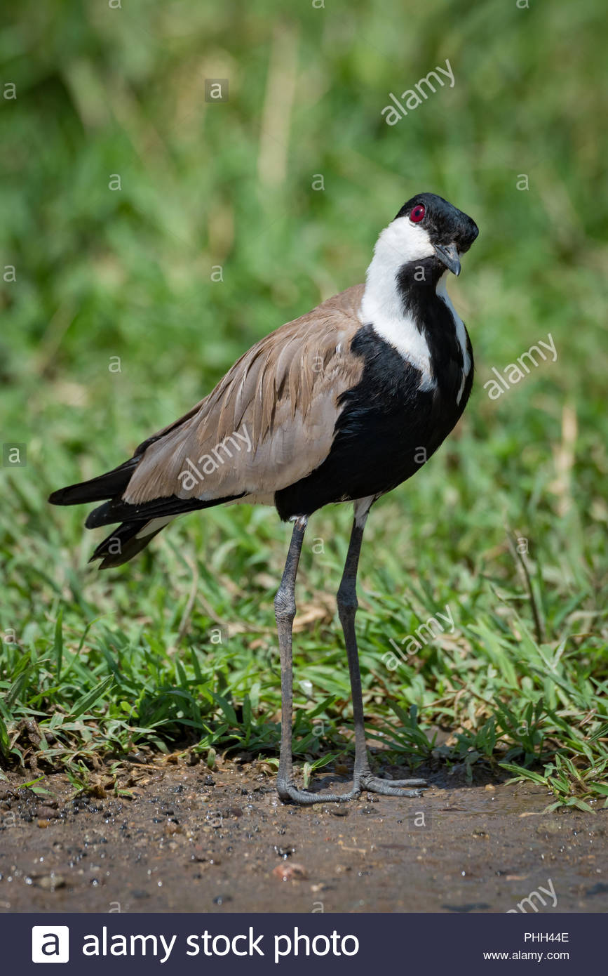 Blacksmith plover with head cocked beside grass - Stock Image