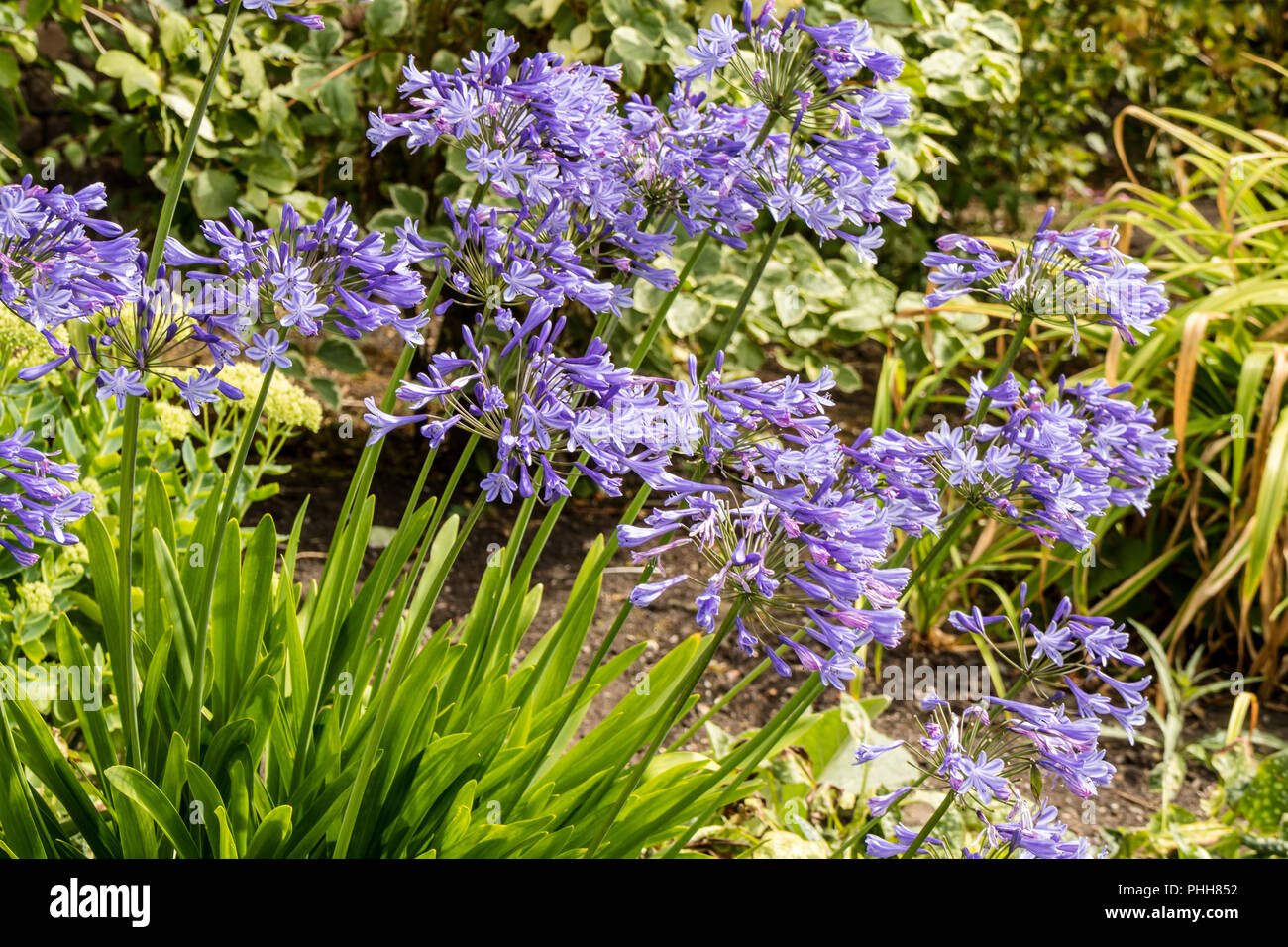 Blue Agapanthus (African lily) plants in a herbaceous border in a garden. - Stock Image