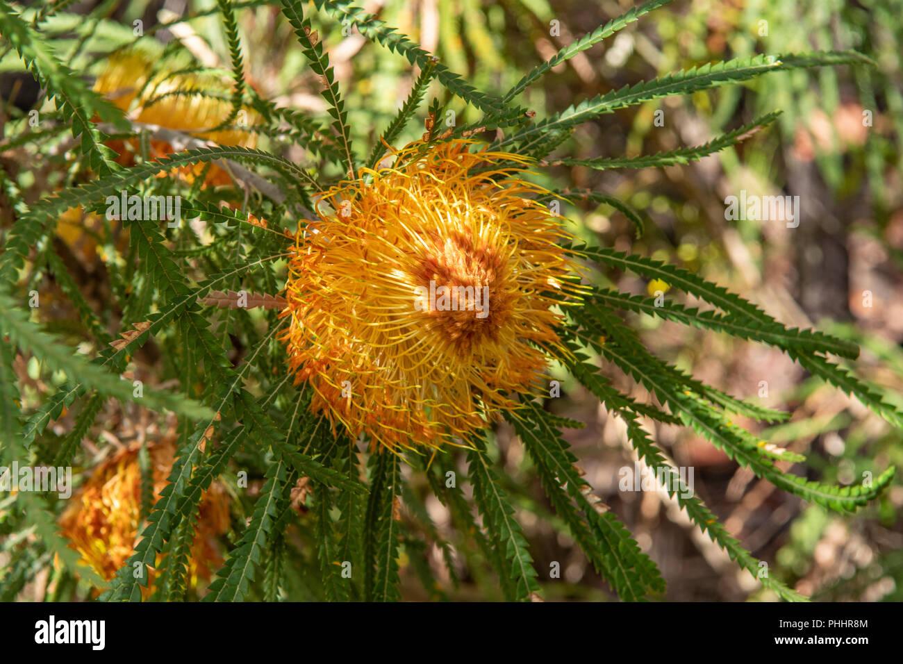 Dryandra formosa, Showy Dryandra - Stock Image