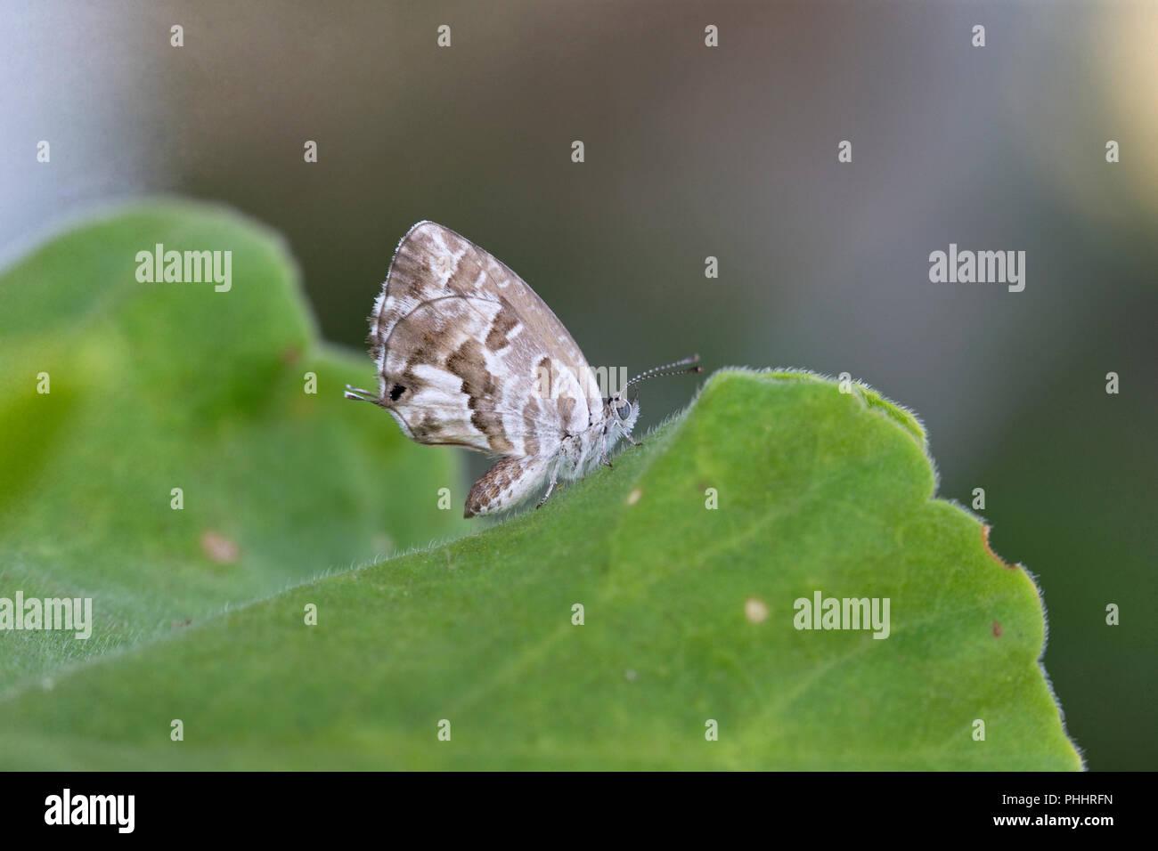 Geranium Bronze (Cacyreus marshalli) - Stock Image