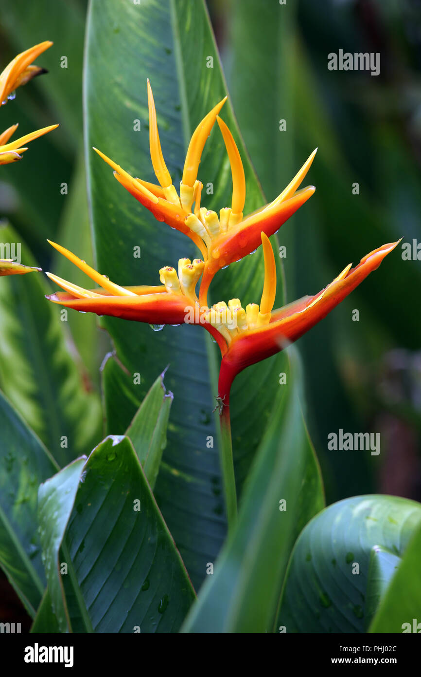 lobster claws, toucan peak (Heliconia sp.) - Stock Image