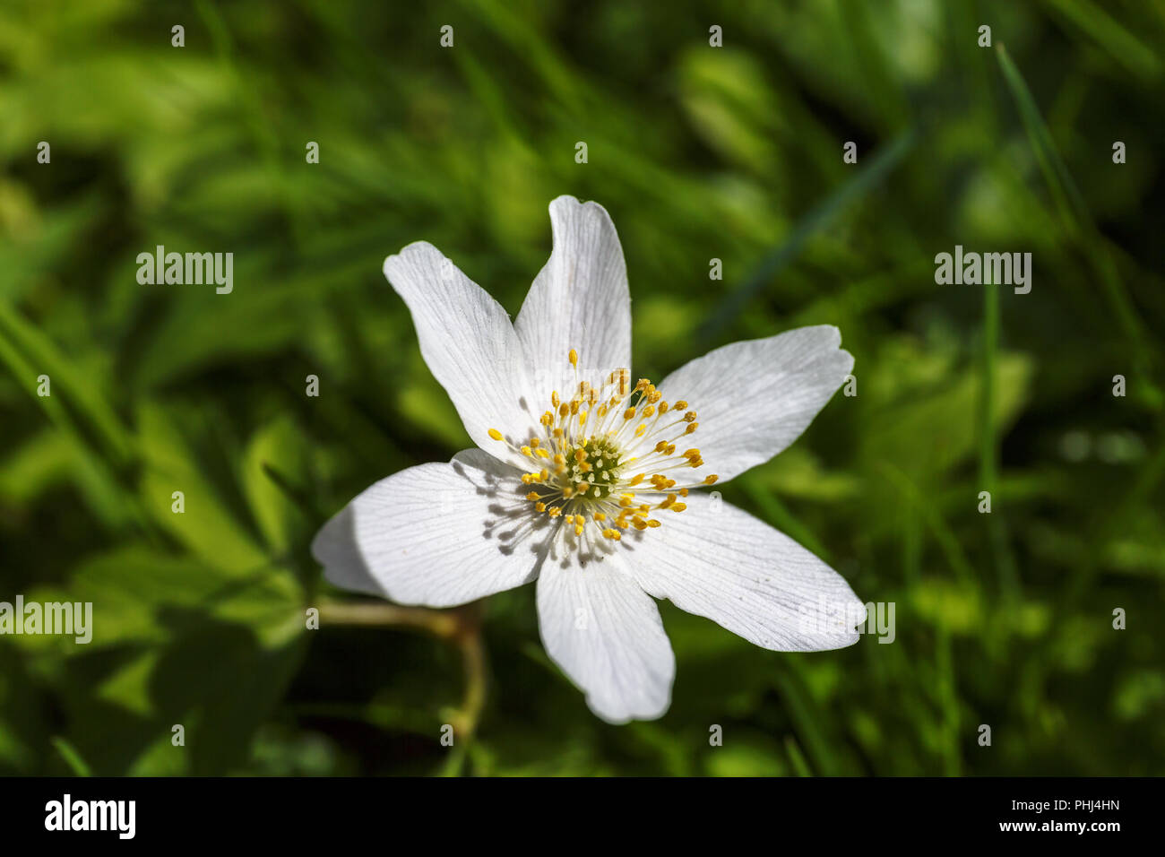 Wood anemone an early spring flower - Stock Image
