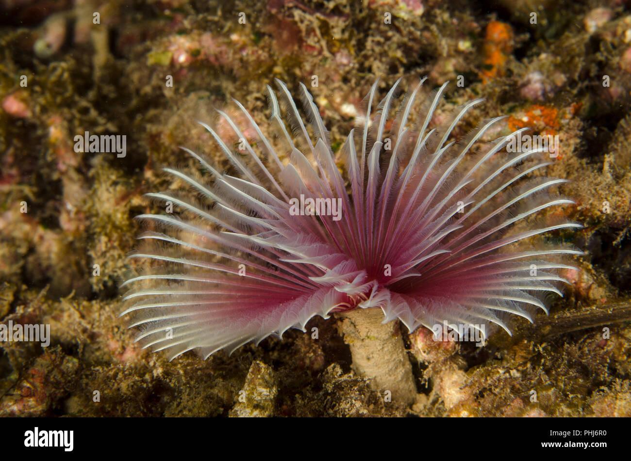 Tubeworm, Sabellastarte sp., Sabellidae, Anilao, Philippines, Philippine Sea, Pacific Ocean, Asia - Stock Image