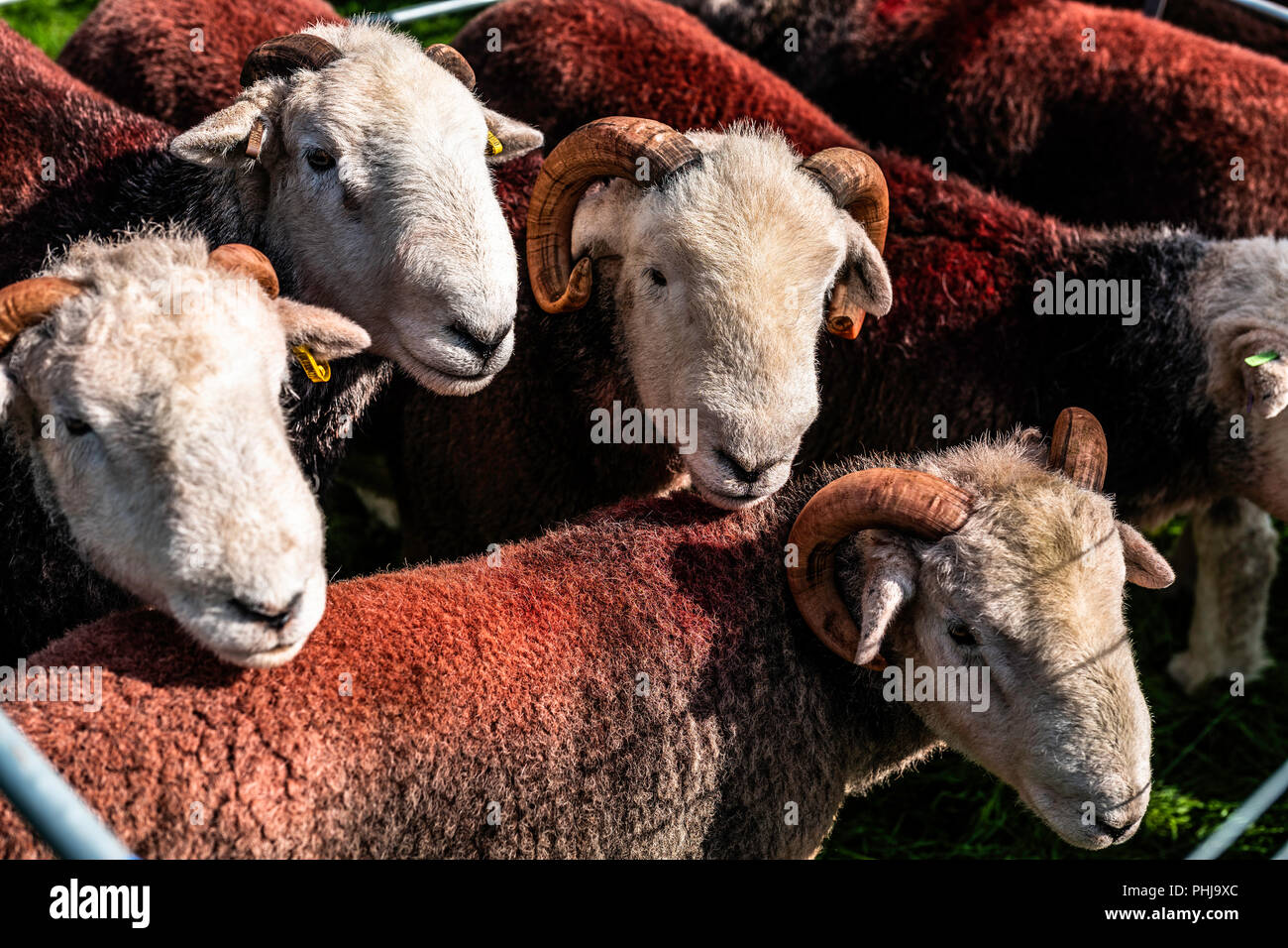 Ennerdale, Whitehaven, Cumbria, UK. 29th August 2018. The community of Ennerdale Water in the Lake District hold their annual agricultural show. Embed - Stock Image