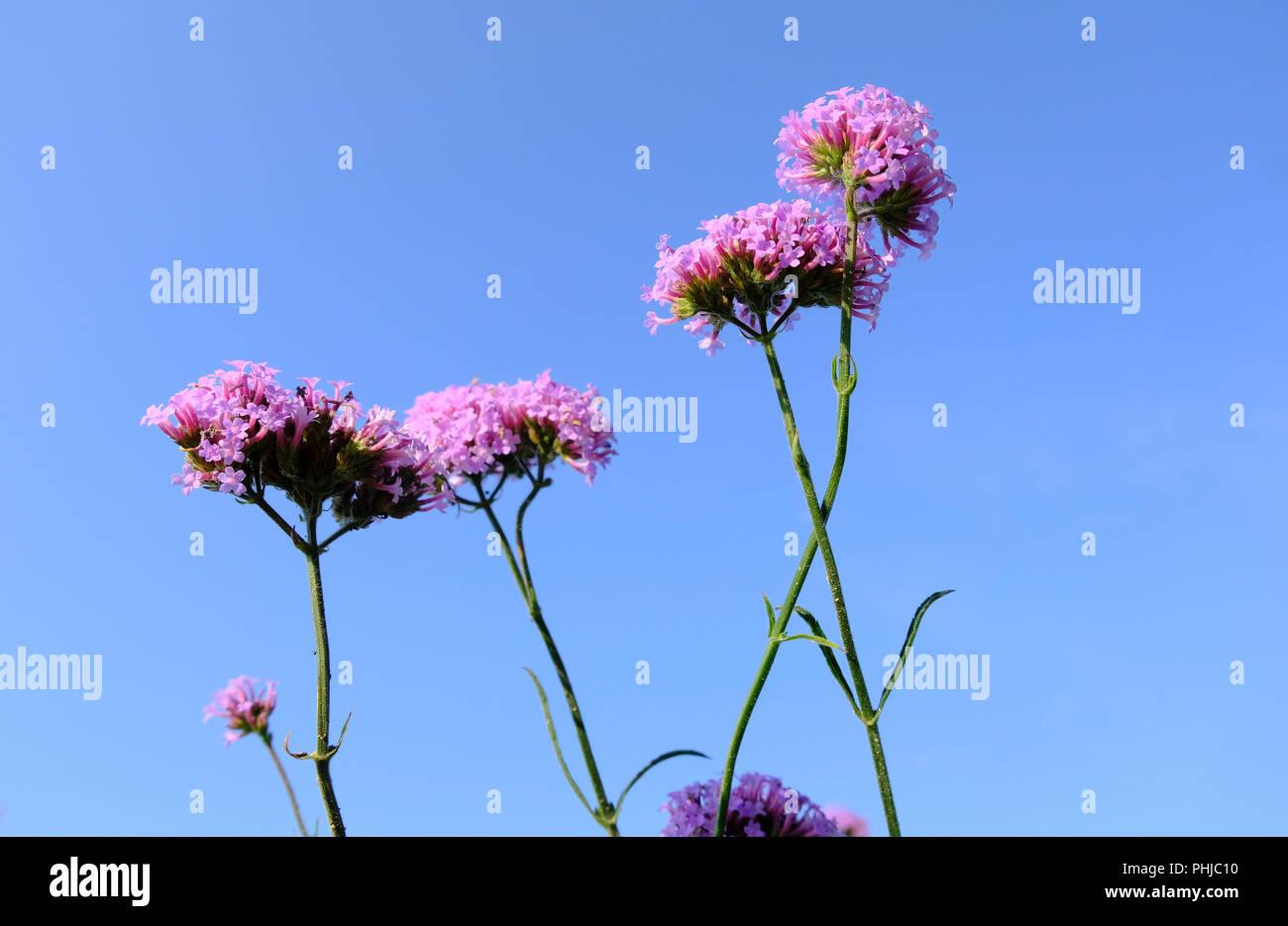Verbena bonariensis Lollipop in early morning light in late summer in UK - Stock Image