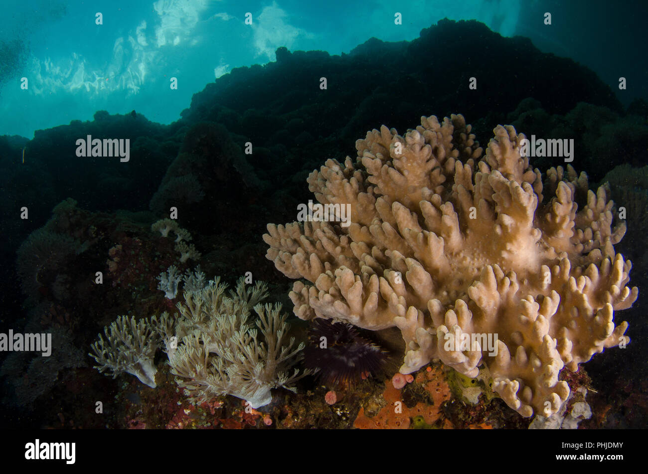 Soft Coral. Sinularia sp., Alcyoniidae, Anilao, Batangas, Philippines, Philippine Sea, Pacific Ocean, Asia - Stock Image