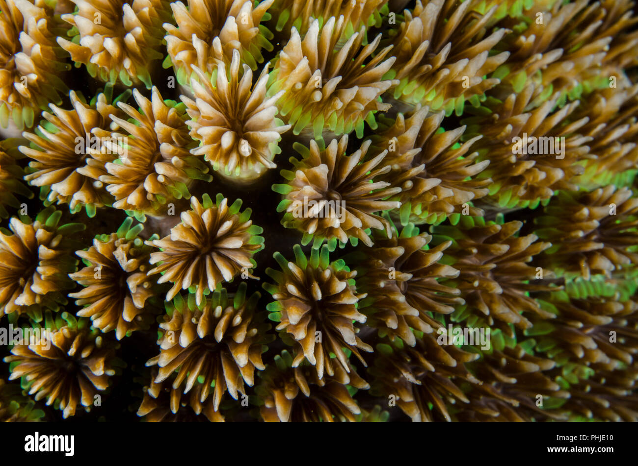 Galaxy Coral, Galaxea fascicularis, Oculinidae,  Anilao, Philippines, Philippine Sea, Pacific Ocean, Asia - Stock Image