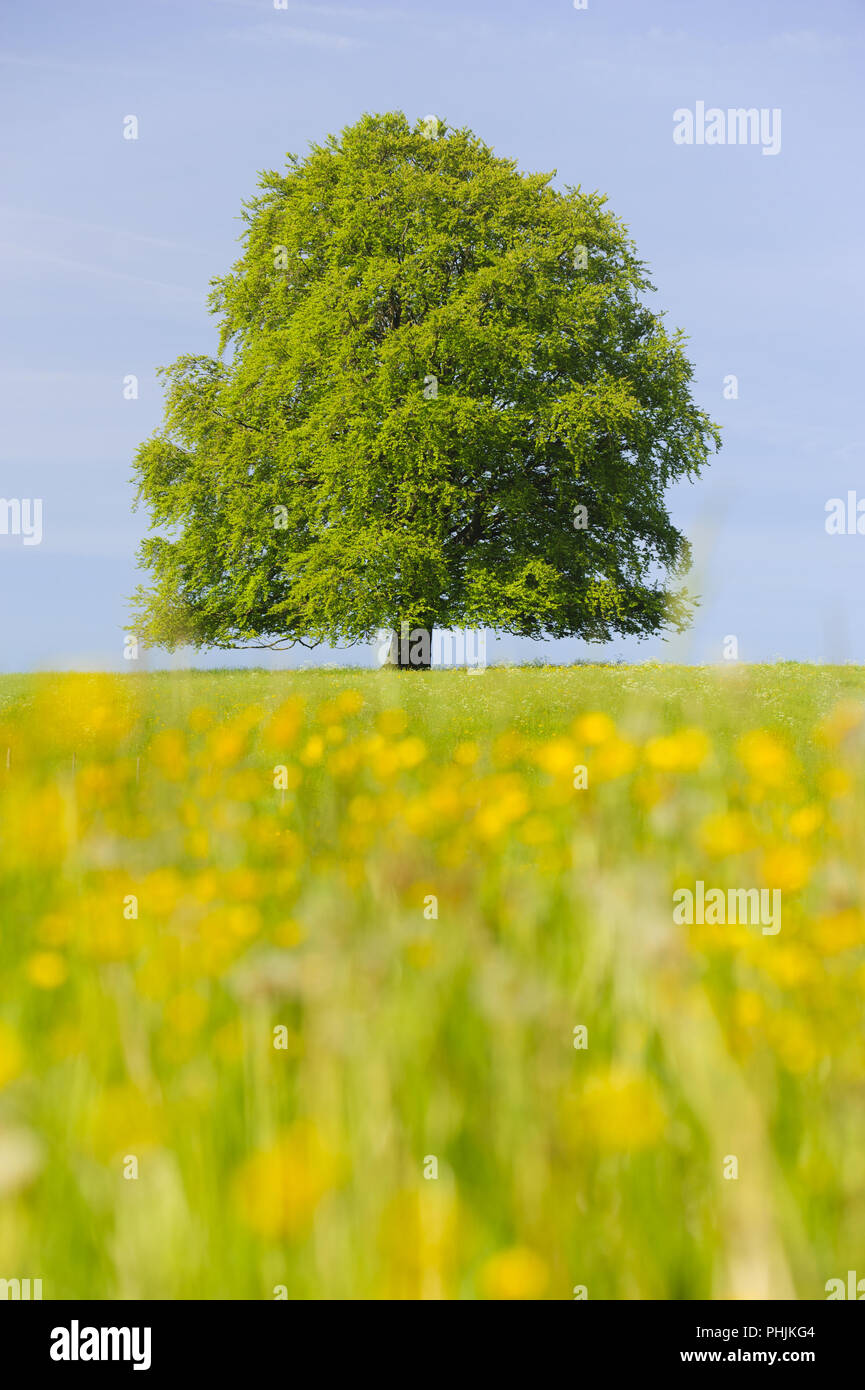 single big beech tree in field with perfect treetop - Stock Image