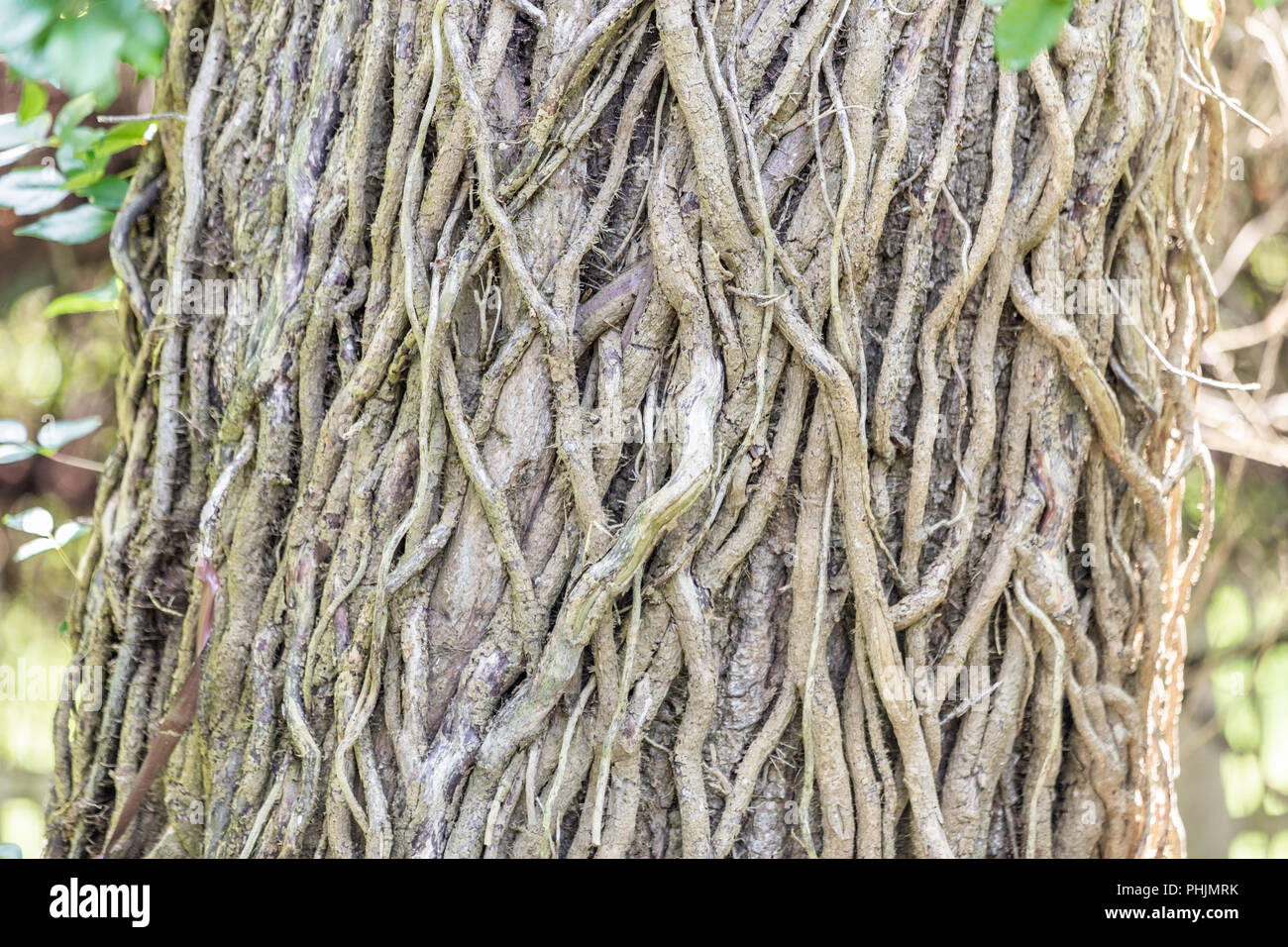detail image of a plethora of vines on a large tree trunk - Stock Image