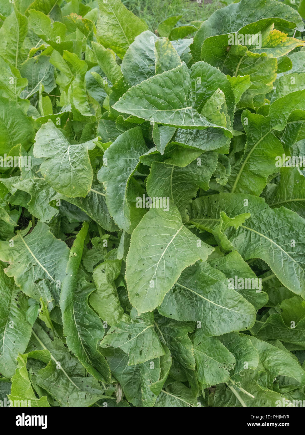 Large green leaves of a cluster of Horseradish / Armoracia rusticana plants growing - Stock Image