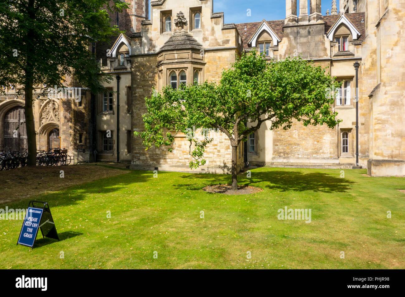 Descendant of Newton's Apple Tree, Trinity College, Cambridge, UK Stock Photo