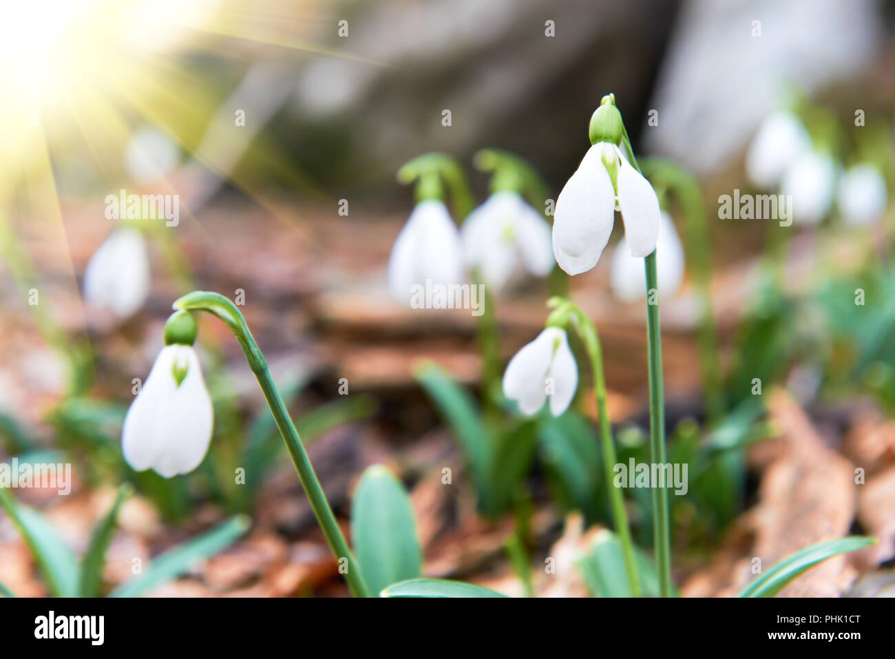 Snowdrops First Spring Flowers And Sun Light Stock Photo 217391800